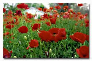 Poppies-774775